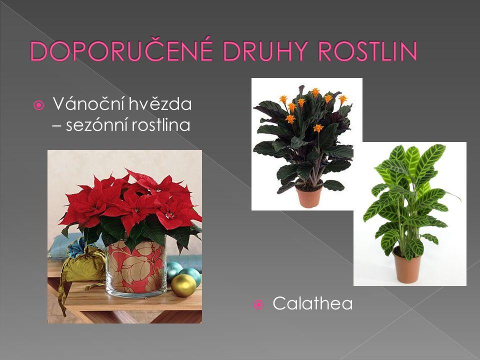 Vánoční hvězda – sezónní rostlina  Calathea