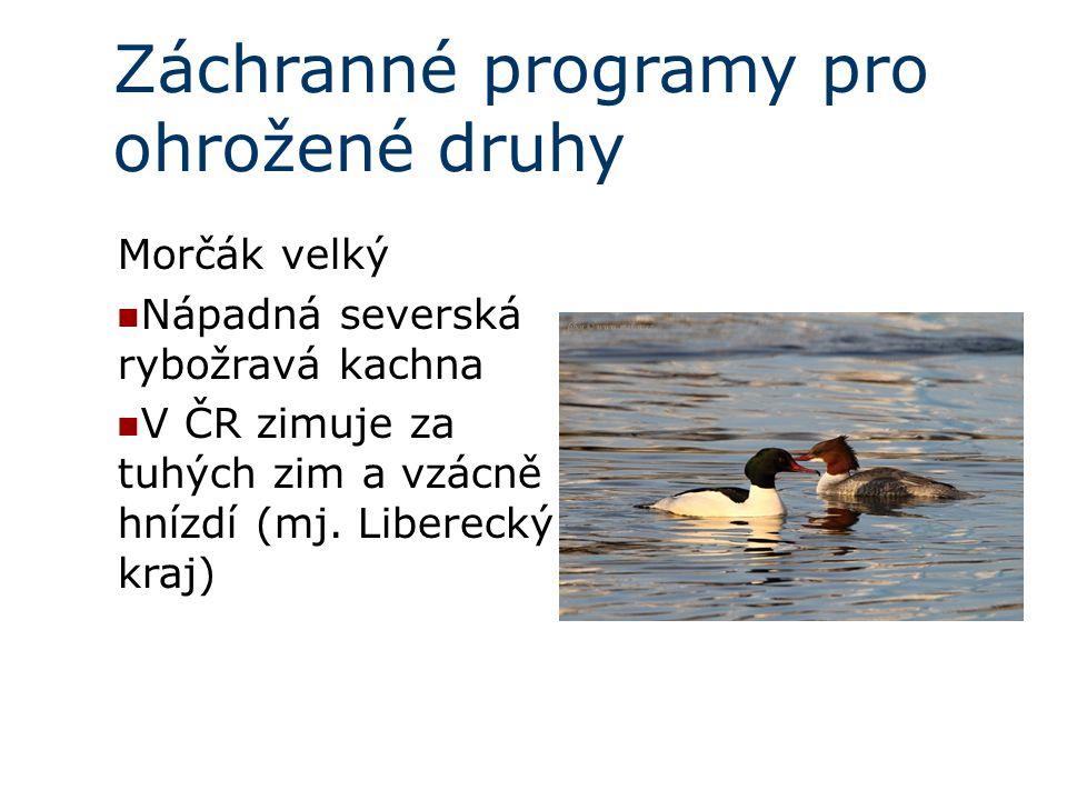 Záchranné programy pro ohrožené druhy Morčák velký Nápadná severská rybožravá kachna V ČR zimuje za tuhých zim a vzácně hnízdí (mj.