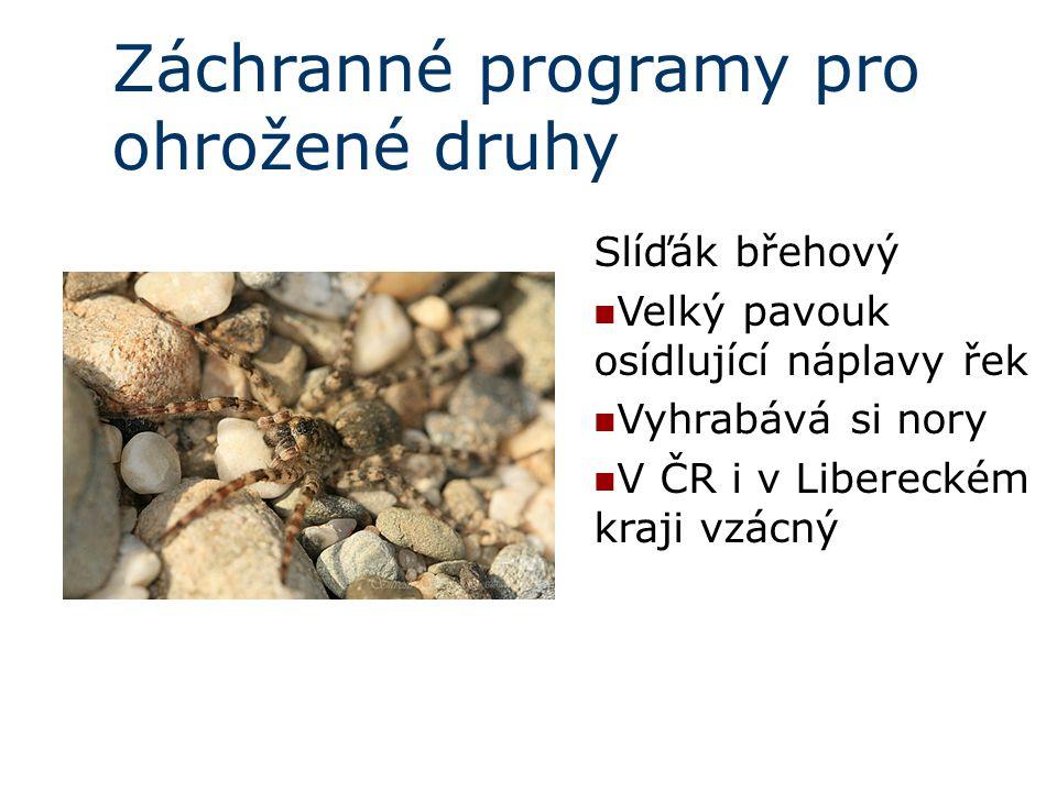 Záchranné programy pro ohrožené druhy Slíďák břehový Velký pavouk osídlující náplavy řek Vyhrabává si nory V ČR i v Libereckém kraji vzácný