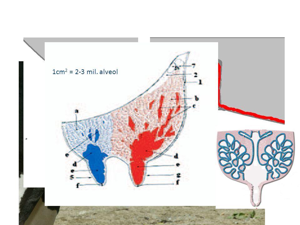 1cm 2 = 2-3 mil. alveol