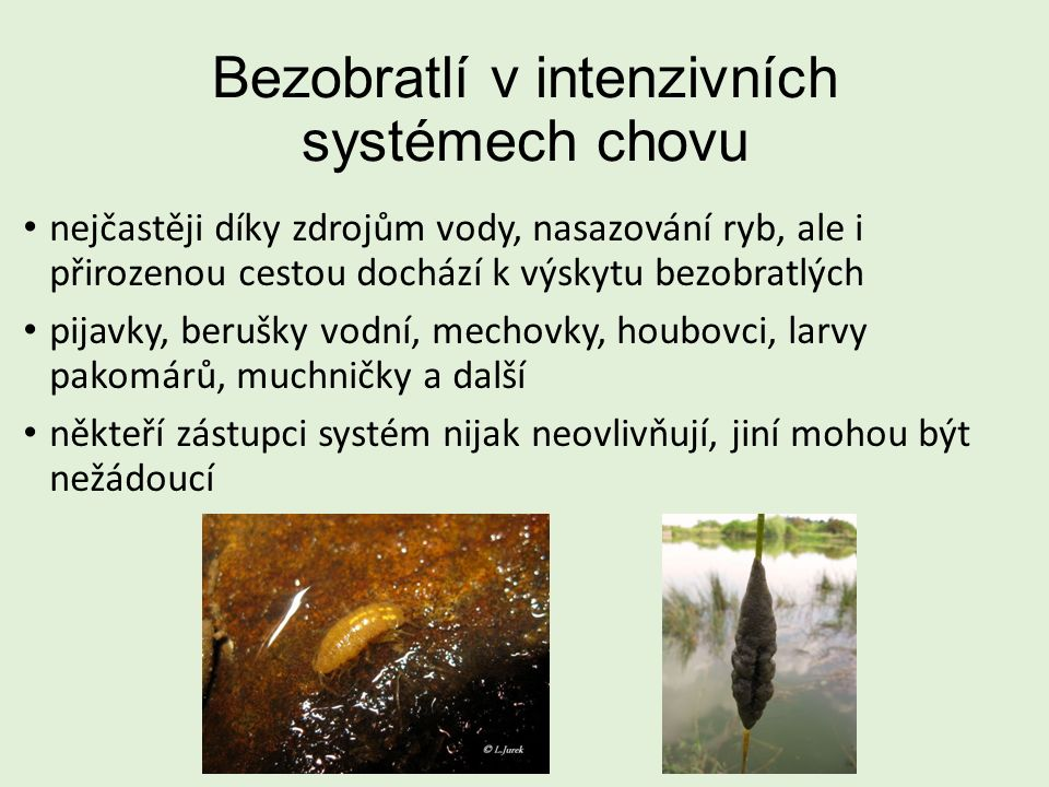 Bezobratlí v intenzivních systémech chovu nejčastěji díky zdrojům vody, nasazování ryb, ale i přirozenou cestou dochází k výskytu bezobratlých pijavky, berušky vodní, mechovky, houbovci, larvy pakomárů, muchničky a další někteří zástupci systém nijak neovlivňují, jiní mohou být nežádoucí
