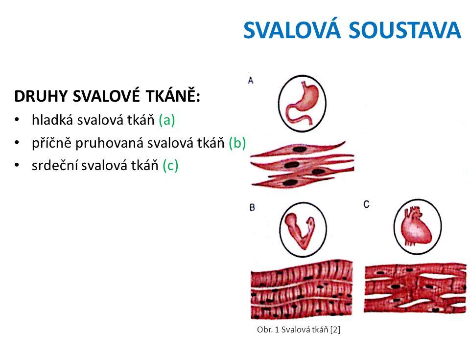 SVALOVÁ SOUSTAVA DRUHY SVALOVÉ TKÁNĚ: hladká svalová tkáň (a) příčně pruhovaná svalová tkáň (b) srdeční svalová tkáň (c) Obr. 1 Svalová tkáň [2]