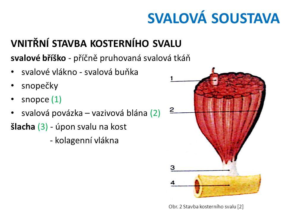 SVALOVÁ SOUSTAVA VNITŘNÍ STAVBA KOSTERNÍHO SVALU svalové bříško - příčně pruhovaná svalová tkáň svalové vlákno - svalová buňka snopečky snopce (1) svalová povázka – vazivová blána (2) šlacha (3) - úpon svalu na kost - kolagenní vlákna Obr.