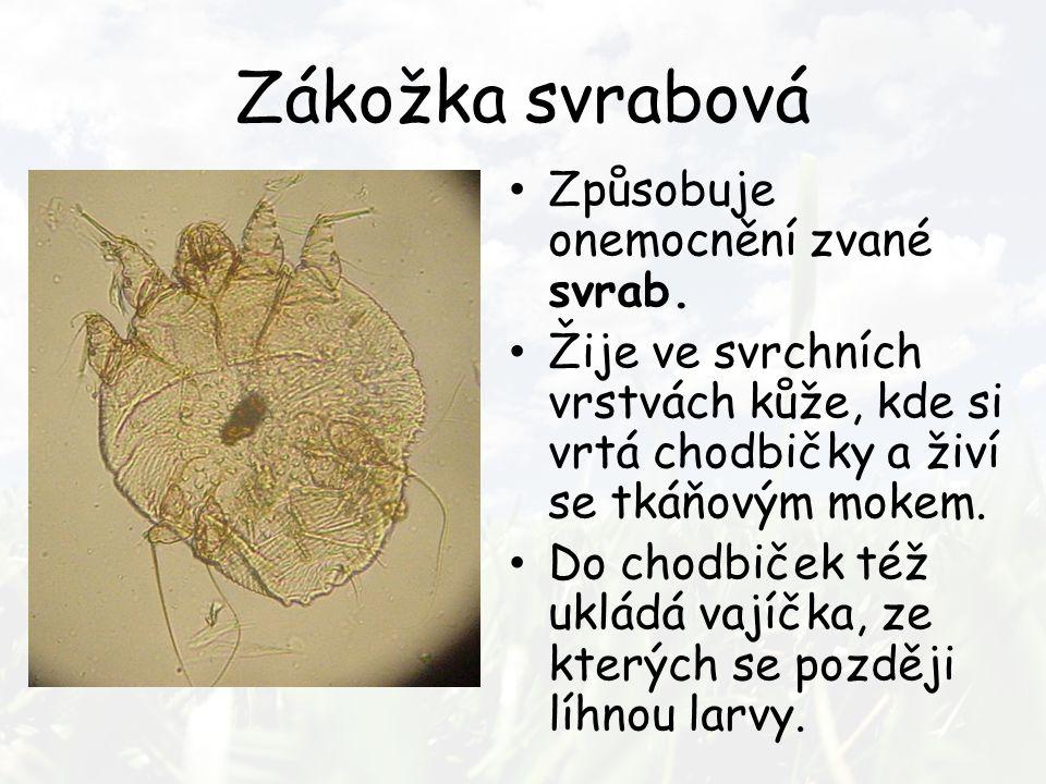 Zákožka svrabová Způsobuje onemocnění zvané svrab. Žije ve svrchních vrstvách kůže, kde si vrtá chodbičky a živí se tkáňovým mokem. Do chodbiček též u