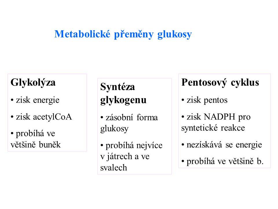 Metabolické přeměny glukosy Glykolýza zisk energie zisk acetylCoA probíhá ve většině buněk Syntéza glykogenu zásobní forma glukosy probíhá nejvíce v játrech a ve svalech Pentosový cyklus zisk pentos zisk NADPH pro syntetické reakce nezískává se energie probíhá ve většině b.