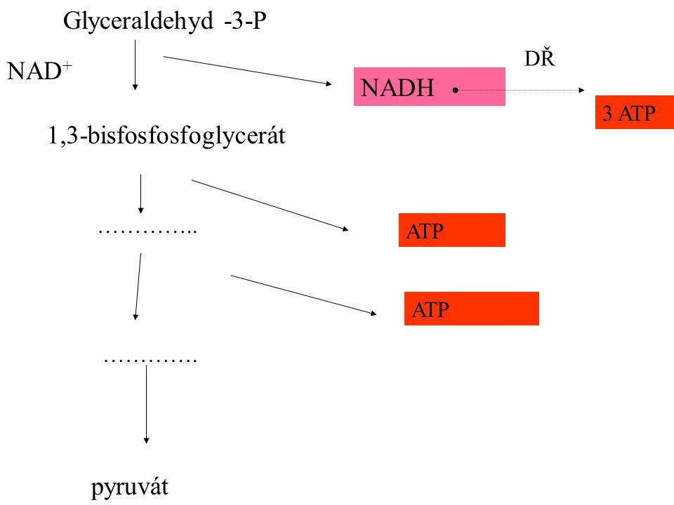 Glyceraldehyd -3-P 1,3-bisfosfosfoglycerát NADH ………….. ATP …………. ATP 3 ATP NAD + DŘ pyruvát
