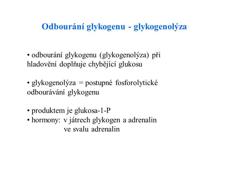 odbourání glykogenu (glykogenolýza) při hladovění doplňuje chybějící glukosu glykogenolýza = postupné fosforolytické odbourávání glykogenu produktem je glukosa-1-P hormony: v játrech glykogen a adrenalin ve svalu adrenalin Odbourání glykogenu - glykogenolýza