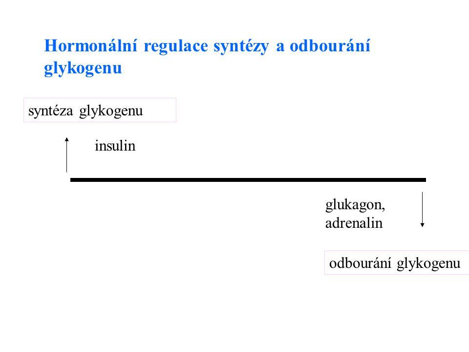 Hormonální regulace syntézy a odbourání glykogenu syntéza glykogenu insulin odbourání glykogenu glukagon, adrenalin