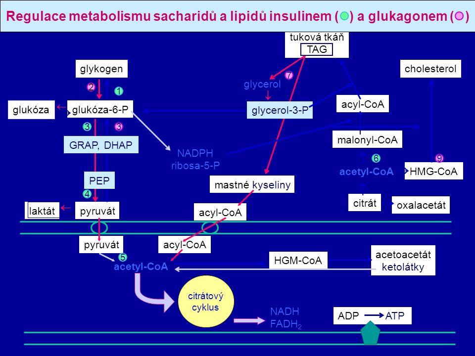 glykogen glukóza-6-P pyruvát tuková tkáň TAG mastné kyseliny glycerol  acyl-CoA malonyl-CoA acetyl-CoA citrát oxalacetát HMG-CoA cholesterol glukóza laktát acyl-CoA NADPH ribosa-5-P pyruvátacyl-CoA acetyl-CoA ADP ATP citrátový cyklus Regulace metabolismu sacharidů a lipidů insulinem ( ) a glukagonem ( ) acetoacetát ketolátky HGM-CoA glycerol-3-P GRAP, DHAP PEP         2 3 4 3 1 7 69 5 NADH FADH 2