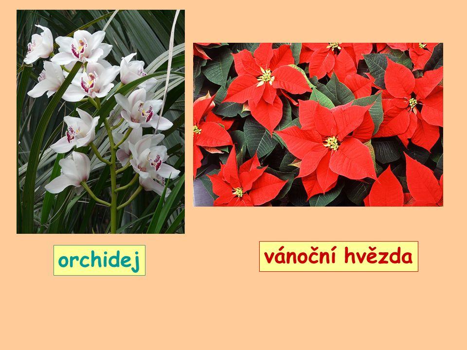 vánoční hvězda orchidej