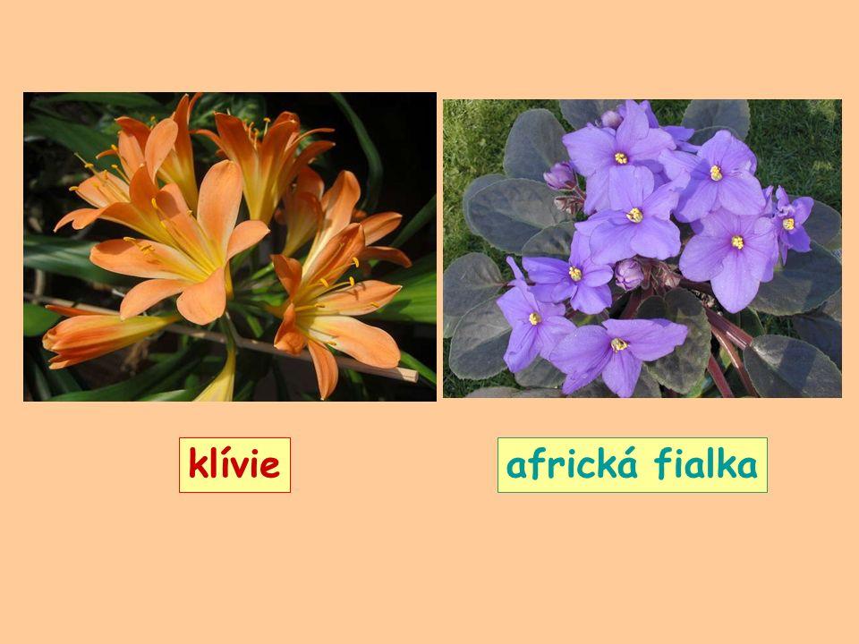 klívieafrická fialka