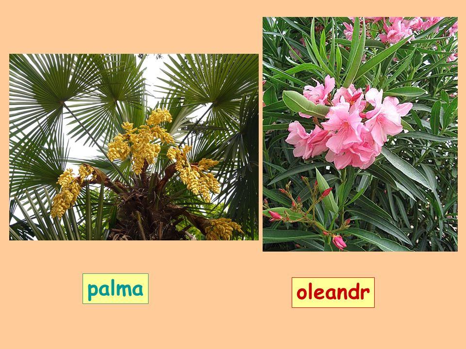 palma oleandr