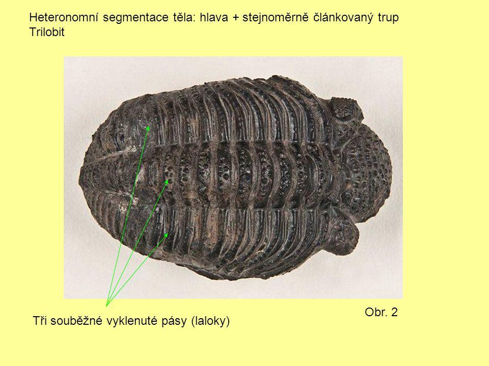 Heteronomní segmentace těla: hlava + stejnoměrně článkovaný trup Trilobit Obr. 2 Tři souběžné vyklenuté pásy (laloky)