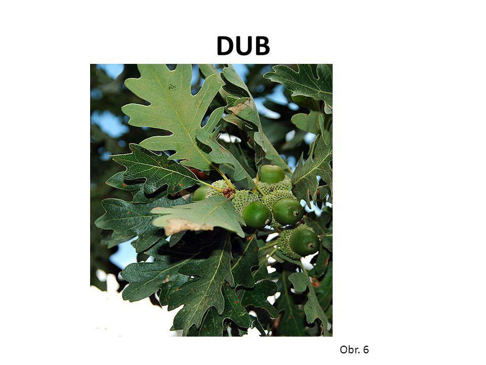 DUB Obr. 6