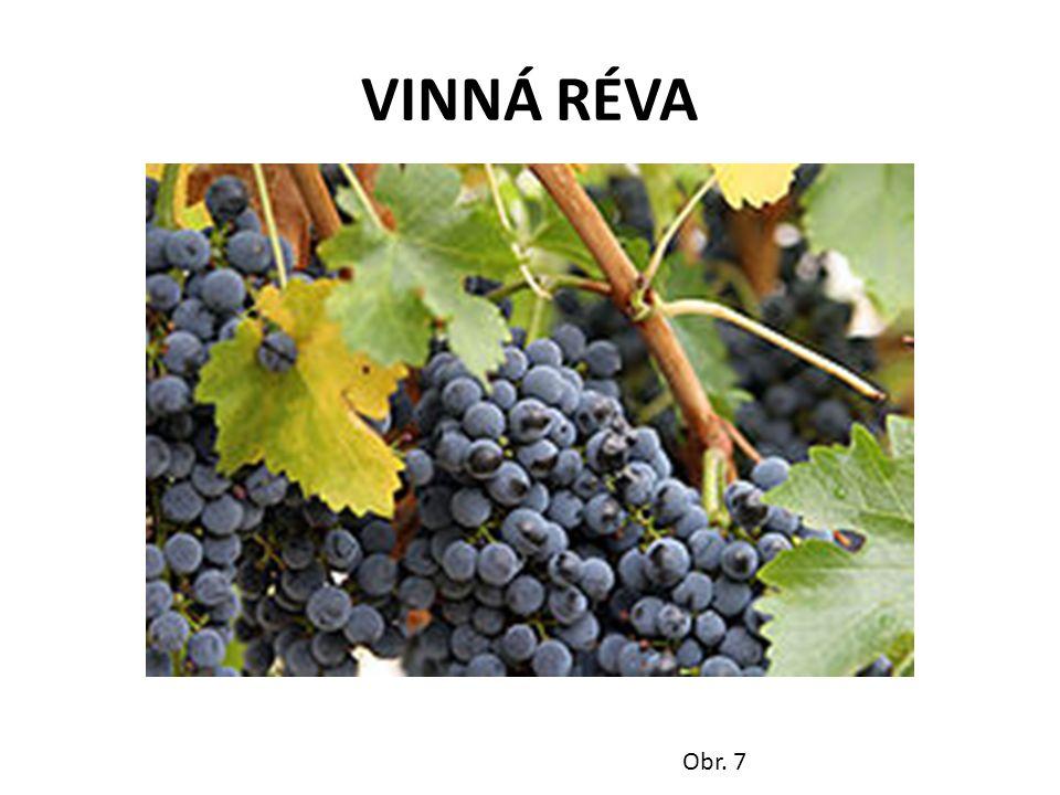 VINNÁ RÉVA Obr. 7