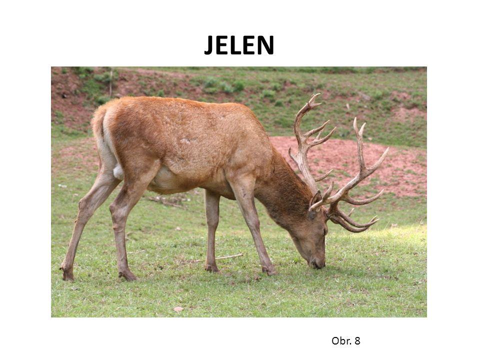 JELEN Obr. 8