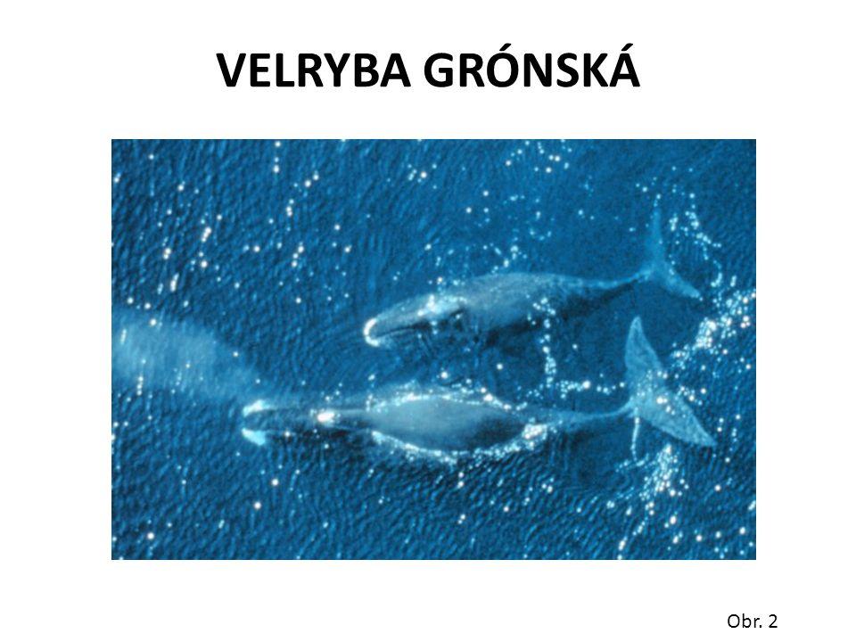 VELRYBA GRÓNSKÁ Obr. 2