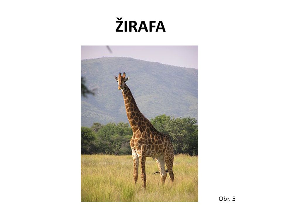 ŽIRAFA Obr. 5