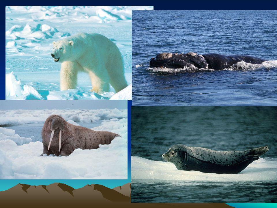 Subpolární pás - tundra Sever Kanady a ostrovy dlouhá mrazivá zima, krátké léto Flóra – mechy,lišejníky, zakrslé dřeviny Fauna – polární liška, sob