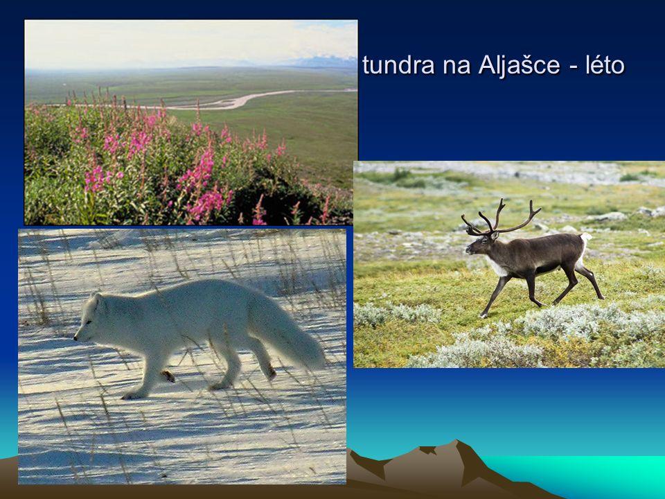 tundra na Aljašce - léto tundra na Aljašce - léto