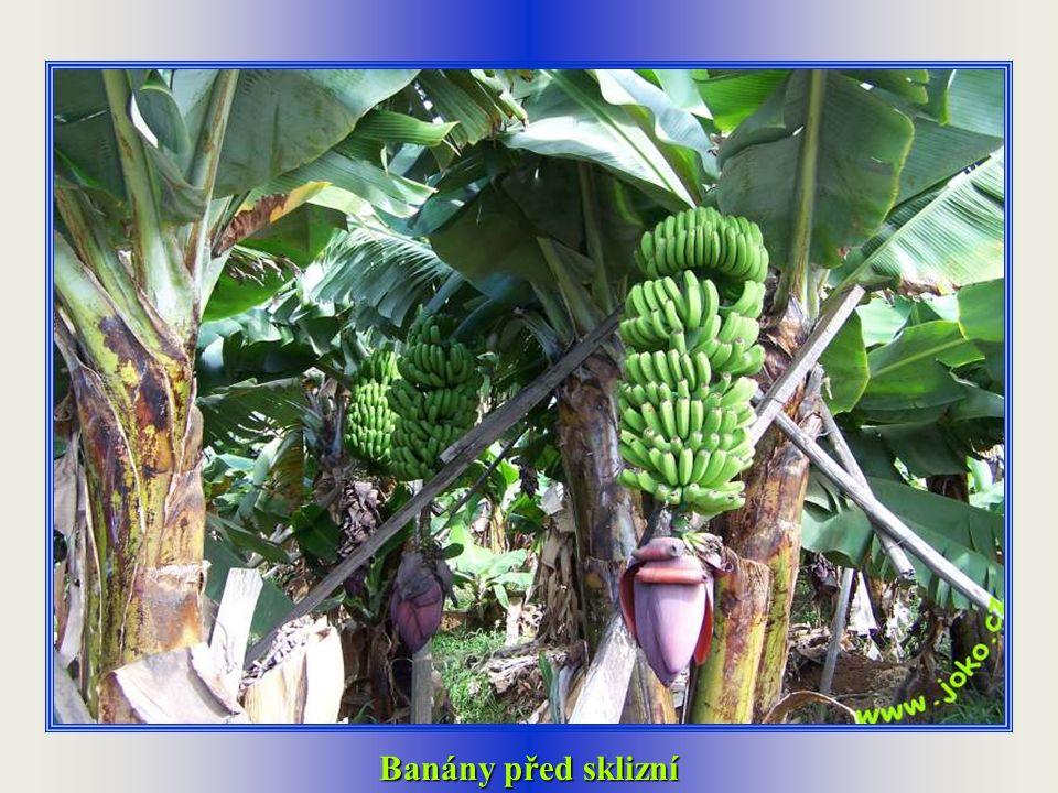 Banánové plantáže