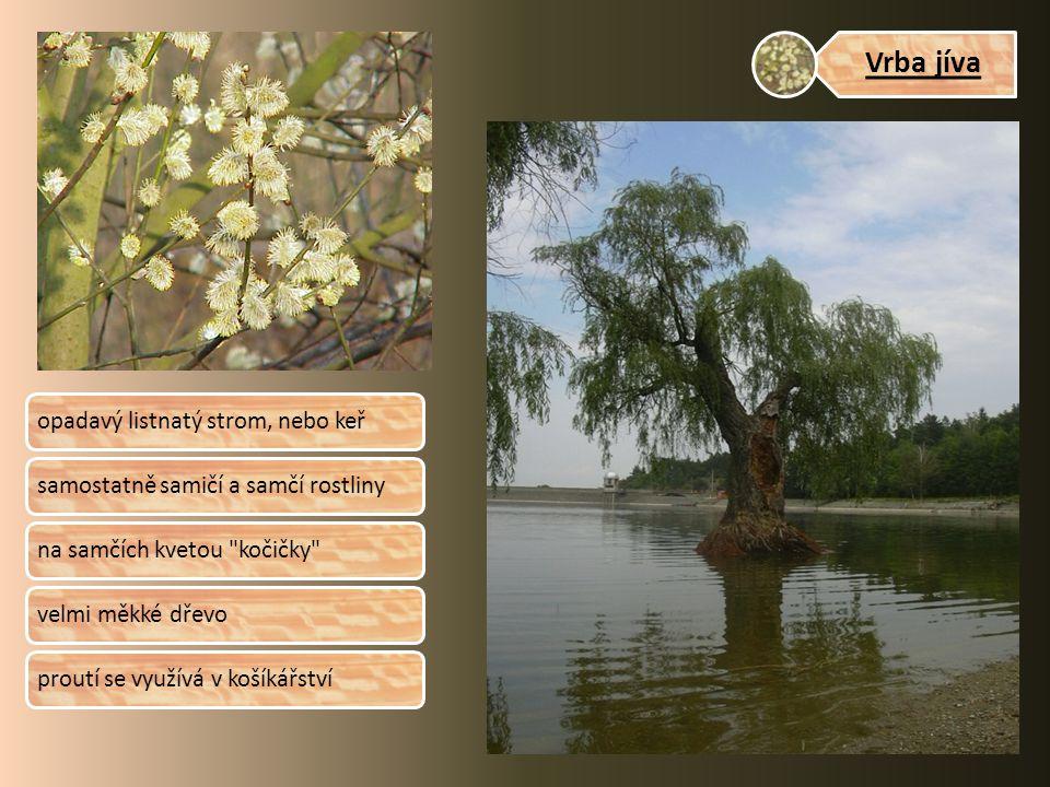 Vrba jíva opadavý listnatý strom, nebo keřsamostatně samičí a samčí rostlinyna samčích kvetou kočičky velmi měkké dřevoproutí se využívá v košíkářství