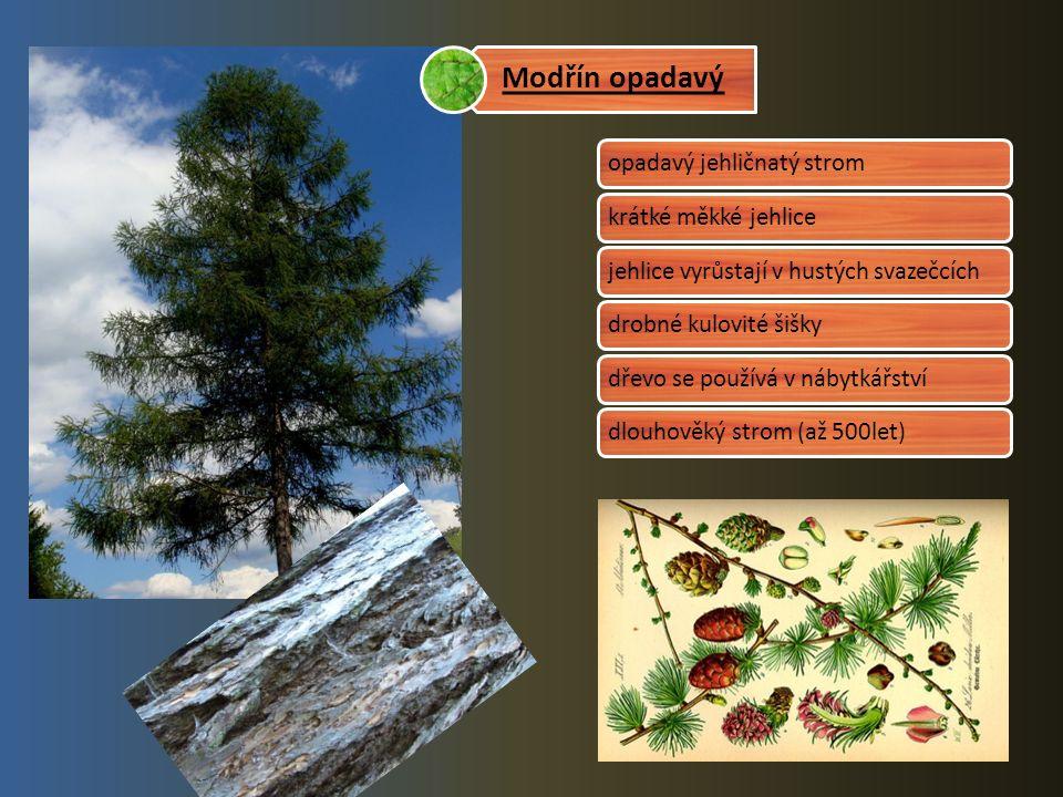 opadavý jehličnatý stromkrátké měkké jehlice jehlice vyrůstají v hustých svazečcích drobné kulovité šiškydřevo se používá v nábytkářstvídlouhověký strom (až 500let) Modřín opadavý