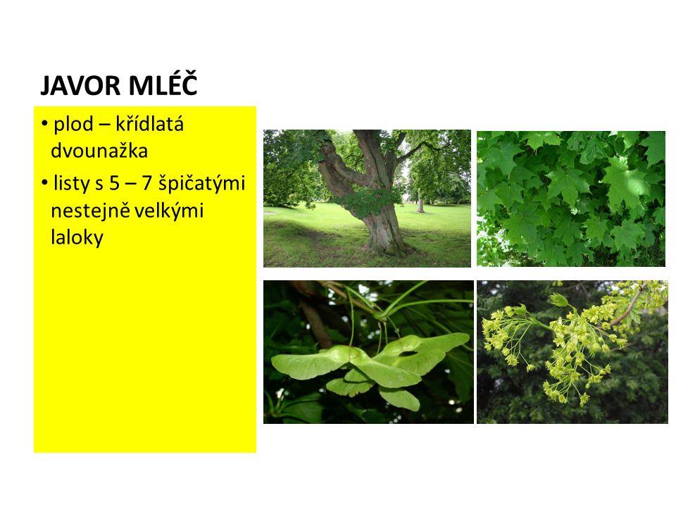 JAVOR MLÉČ plod – křídlatá dvounažka listy s 5 – 7 špičatými nestejně velkými laloky
