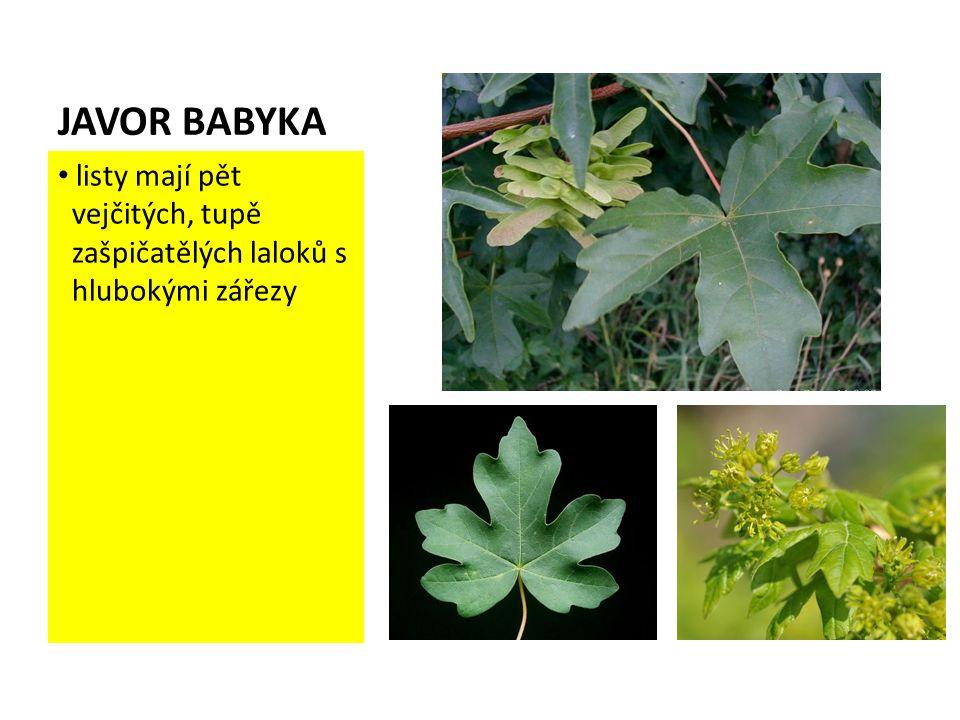 JAVOR BABYKA listy mají pět vejčitých, tupě zašpičatělých laloků s hlubokými zářezy