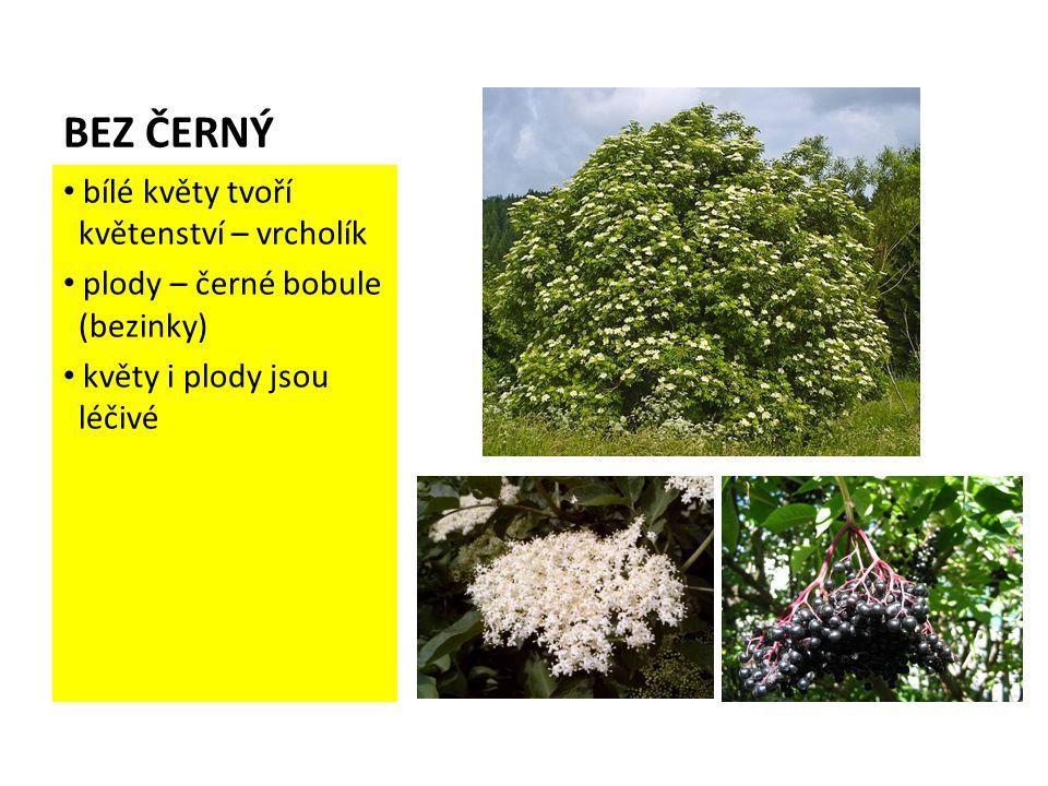 BEZ ČERNÝ bílé květy tvoří květenství – vrcholík plody – černé bobule (bezinky) květy i plody jsou léčivé