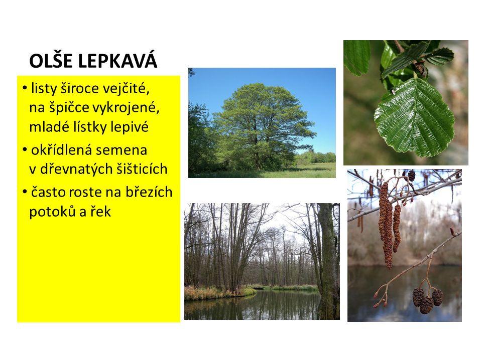OLŠE LEPKAVÁ listy široce vejčité, na špičce vykrojené, mladé lístky lepivé okřídlená semena v dřevnatých šišticích často roste na březích potoků a řek