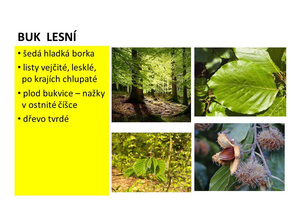 BUK LESNÍ šedá hladká borka listy vejčité, lesklé, po krajích chlupaté plod bukvice – nažky v ostnité číšce dřevo tvrdé