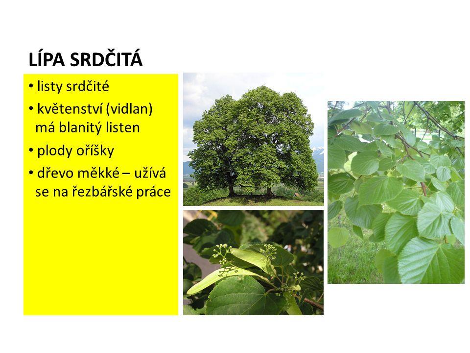 LÍPA SRDČITÁ listy srdčité květenství (vidlan) má blanitý listen plody oříšky dřevo měkké – užívá se na řezbářské práce
