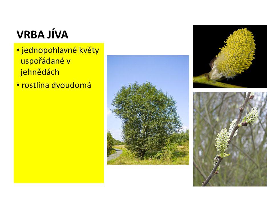 VRBA JÍVA jednopohlavné květy uspořádané v jehnědách rostlina dvoudomá