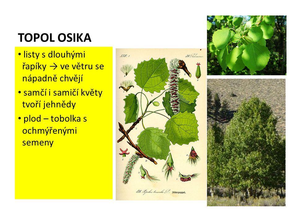 TOPOL OSIKA listy s dlouhými řapíky → ve větru se nápadně chvějí samčí i samičí květy tvoří jehnědy plod – tobolka s ochmýřenými semeny