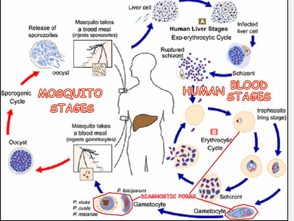 Krevní paraziti II a III (přenašeč malárie, různá stádia, na další straně vývojový cyklus plasmodií)