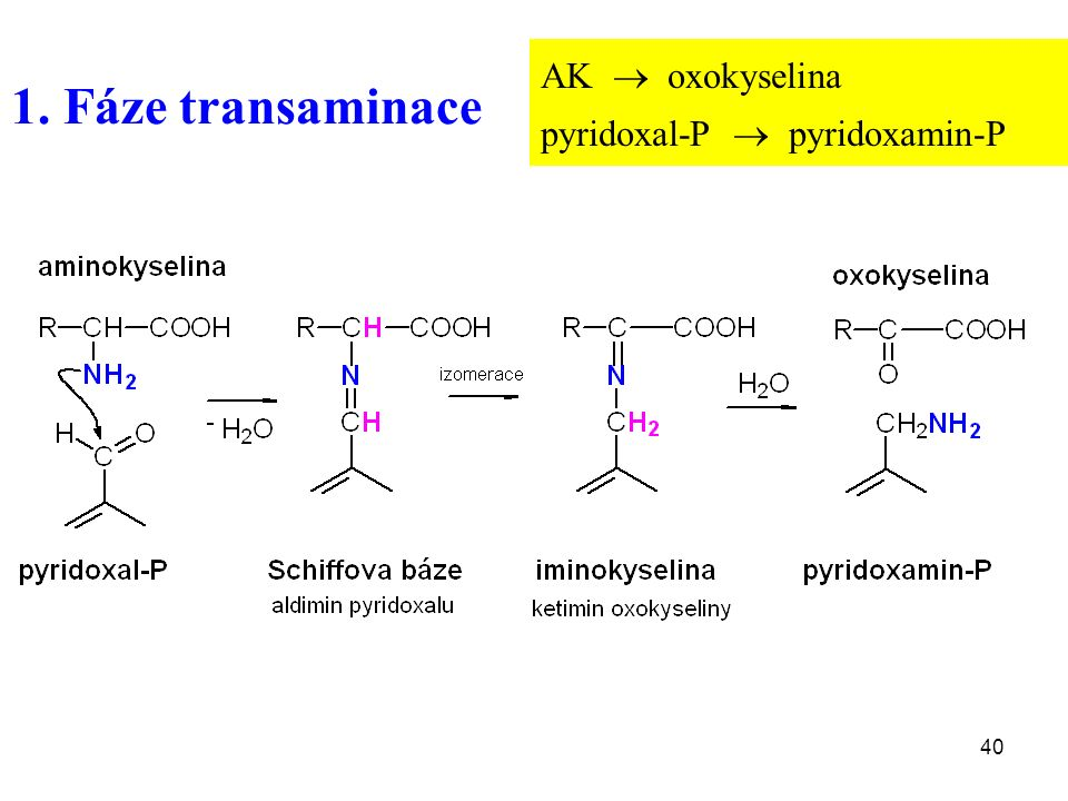 40 1. Fáze transaminace AK  oxokyselina pyridoxal-P  pyridoxamin-P