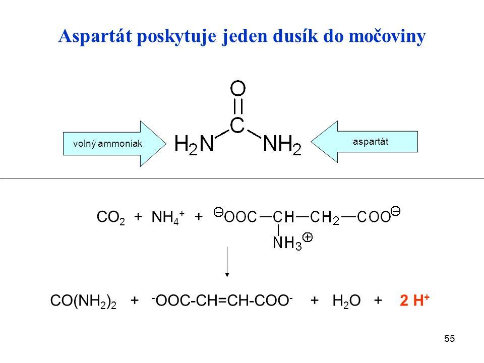 55 Aspartát poskytuje jeden dusík do močoviny CO 2 + NH 4 + + CO(NH 2 ) 2 + - OOC-CH=CH-COO - + H 2 O + 2 H + volný ammoniak aspartát