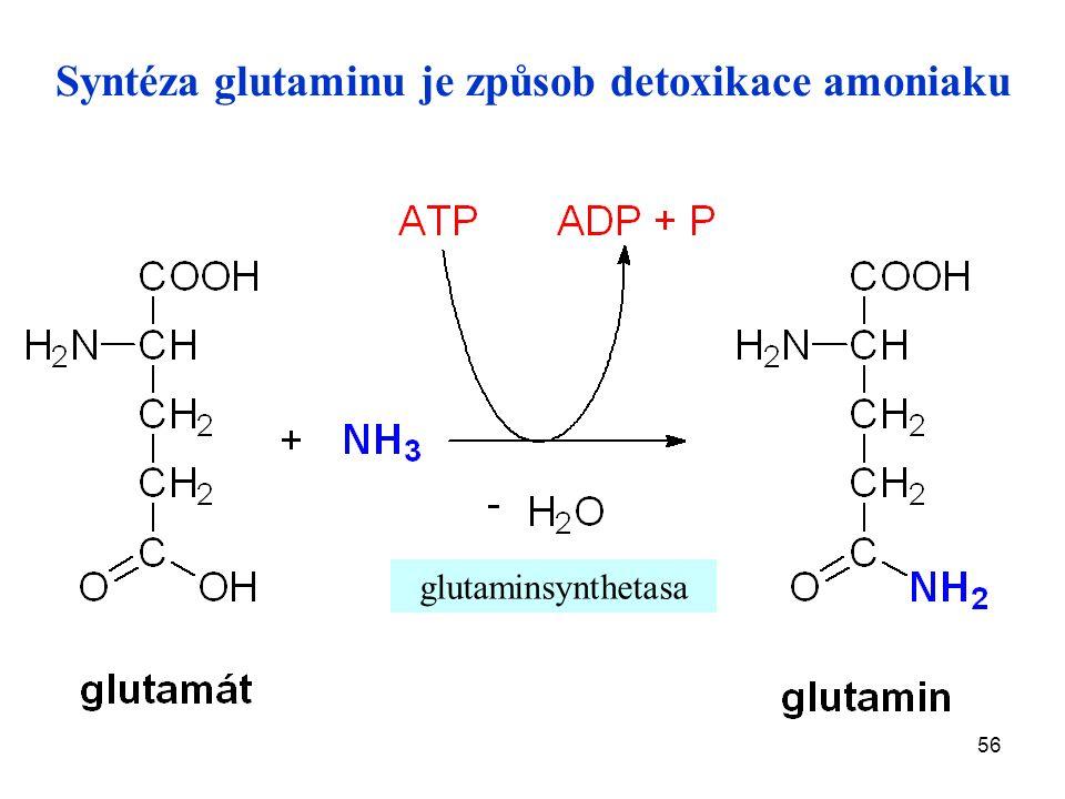 56 Syntéza glutaminu je způsob detoxikace amoniaku glutaminsynthetasa