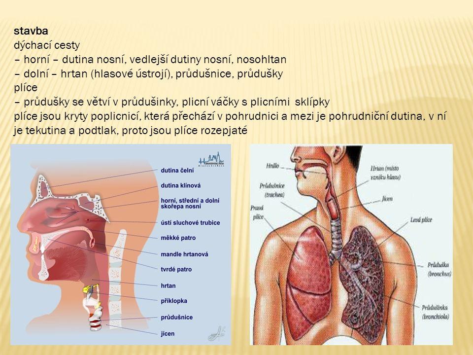 stavba dýchací cesty – horní – dutina nosní, vedlejší dutiny nosní, nosohltan – dolní – hrtan (hlasové ústrojí), průdušnice, průdušky plíce – průdušky