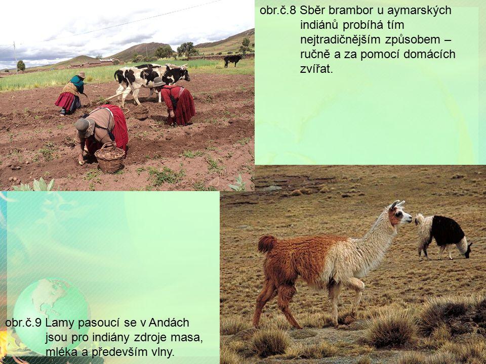 obr.č.8 Sběr brambor u aymarských indiánů probíhá tím nejtradičnějším způsobem – ručně a za pomocí domácích zvířat. obr.č.9 Lamy pasoucí se v Andách j