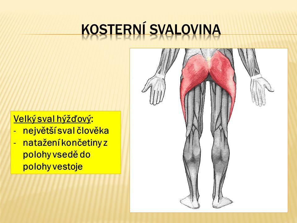 Velký sval hýžďový: -největší sval člověka -natažení končetiny z polohy vsedě do polohy vestoje