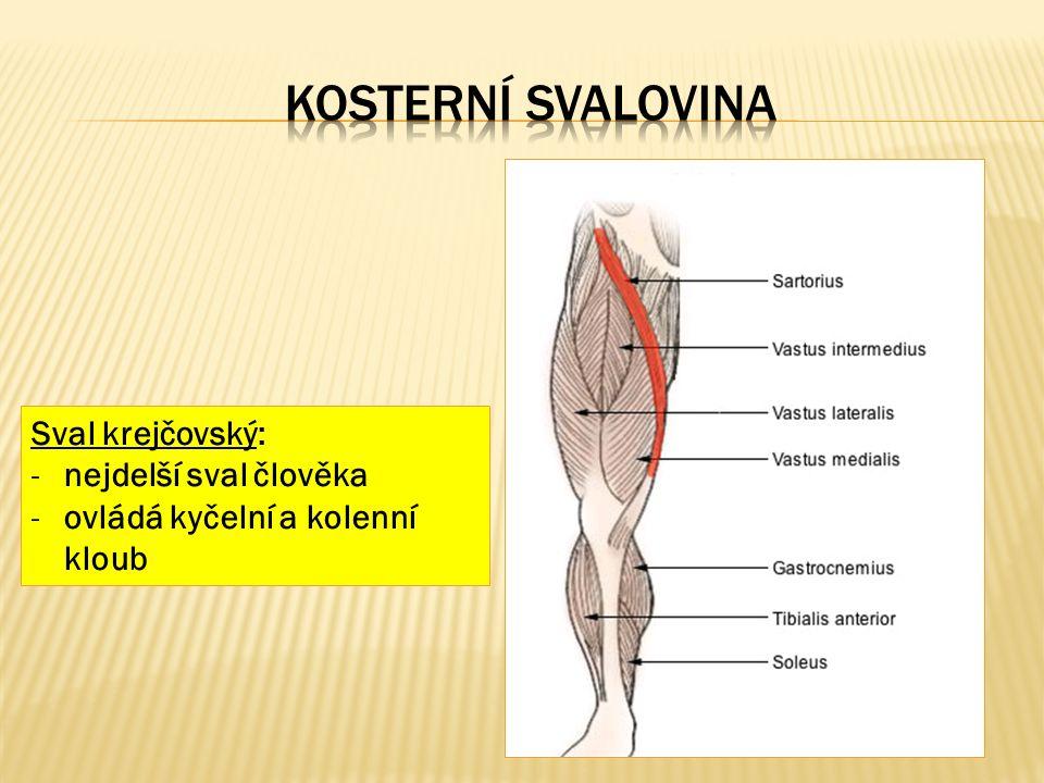 Sval krejčovský: -nejdelší sval člověka -ovládá kyčelní a kolenní kloub
