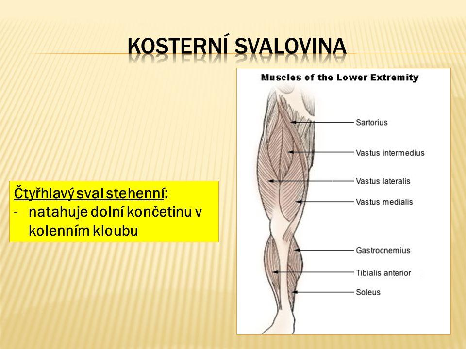 Čtyřhlavý sval stehenní: -natahuje dolní končetinu v kolenním kloubu