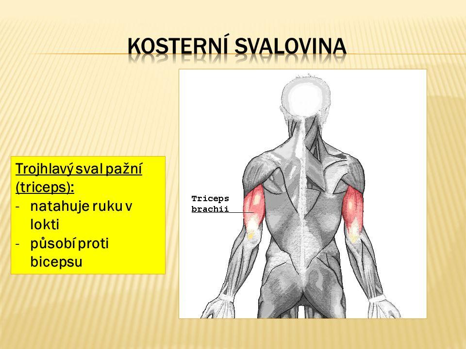 Trojhlavý sval pažní (triceps): -natahuje ruku v lokti -působí proti bicepsu