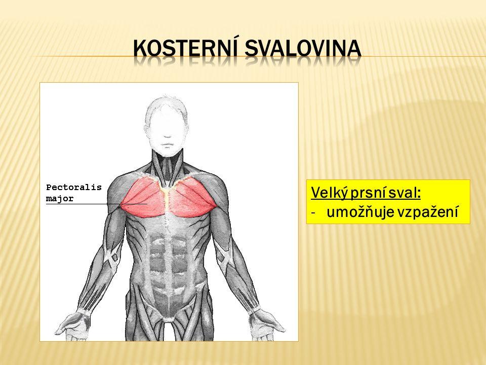 Velký prsní sval: -umožňuje vzpažení