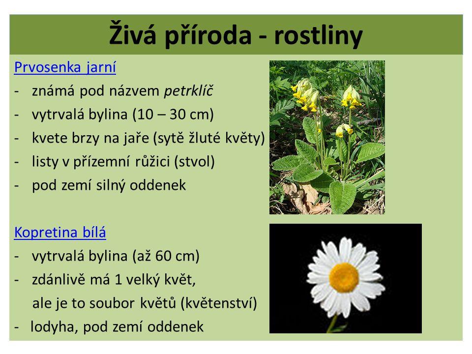 Živá příroda - rostliny Prvosenka jarní -známá pod názvem petrklíč -vytrvalá bylina (10 – 30 cm) -kvete brzy na jaře (sytě žluté květy) -listy v příze