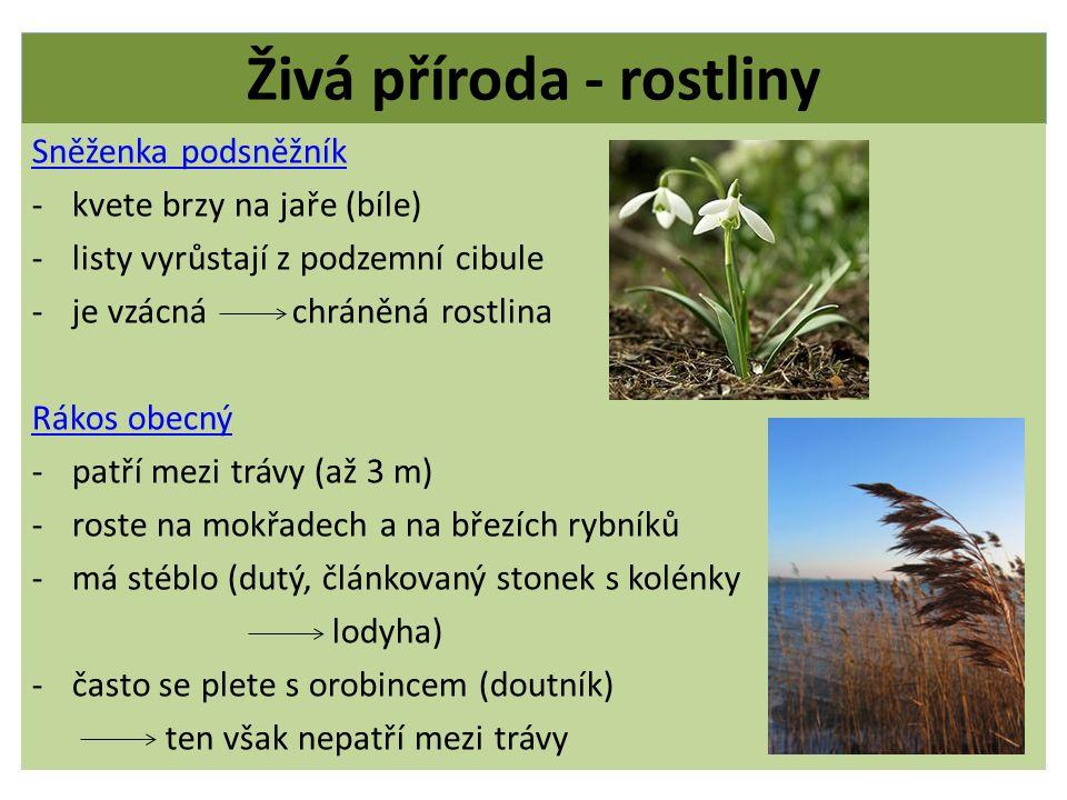 Živá příroda - rostliny Sněženka podsněžník -kvete brzy na jaře (bíle) -listy vyrůstají z podzemní cibule -je vzácná chráněná rostlina Rákos obecný -p