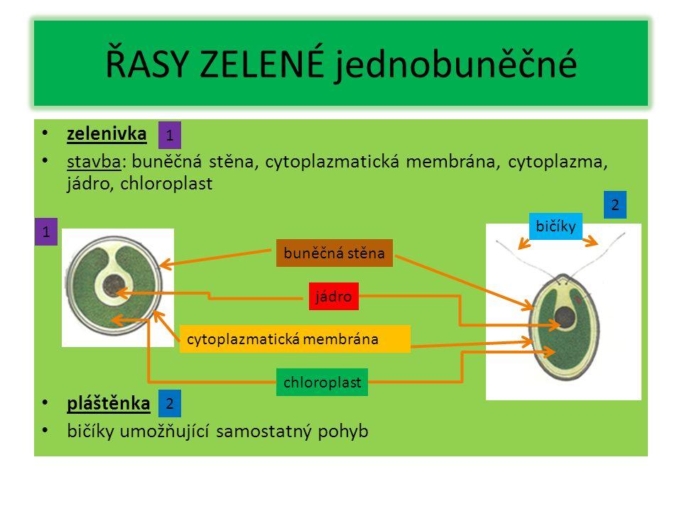 ŘASY ZELENÉ jednobuněčné zelenivka stavba: buněčná stěna, cytoplazmatická membrána, cytoplazma, jádro, chloroplast pláštěnka bičíky umožňující samostatný pohyb buněčná stěna cytoplazmatická membrána chloroplast jádro bičíky 1 1 2 2