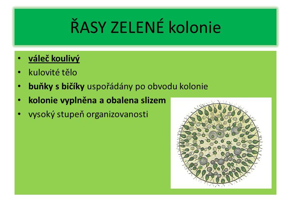 ŘASY ZELENÉ kolonie váleč koulivý kulovité tělo buňky s bičíky uspořádány po obvodu kolonie kolonie vyplněna a obalena slizem vysoký stupeň organizova